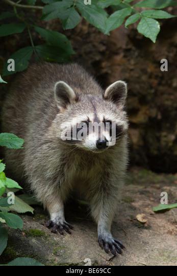 Raccoon (Procyon lotor), standing. - Stock Image