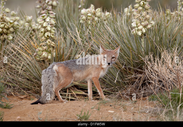 Swift fox (Vulpes velox) vixen at her den, Pawnee National Grassland, Colorado, United States of America, North - Stock Image