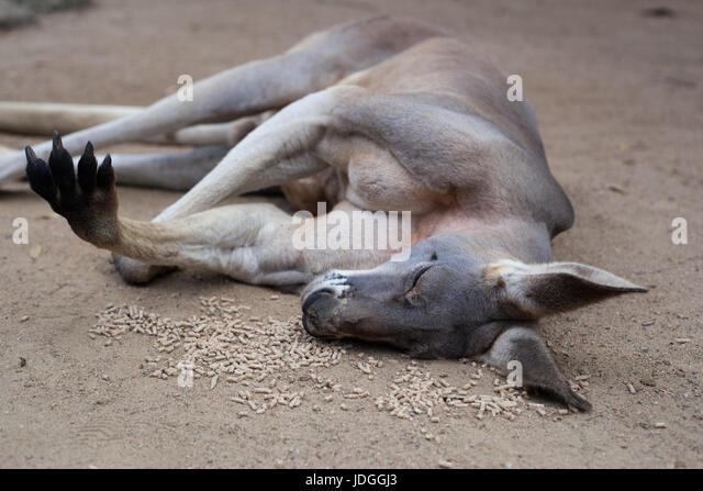 Red kangaroo sleeping on a pile of food in Currumbin Wildlife Sanctuary, Australia - Stock Image