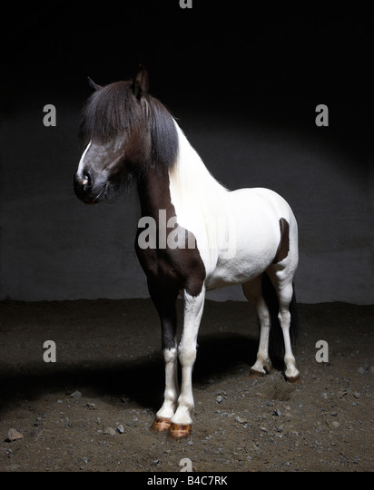 Pure Breed Icelandic Mare, Iceland - Stock Image