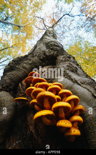 golden scalycap (Pholiota aurivella, Pholiota cerifera), on trunk of common beech, Germany, Thueringen, Hainich - Stock Image