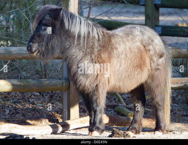 how to look after a shetland pony