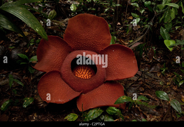 Rafflesia, the World Largest Flower in the Cameron Highlands, Malaysia - Stock Image