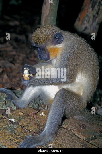 Green monkey vervet monkey Barbados Wildlife Refuge tourist attraction - Stock Image