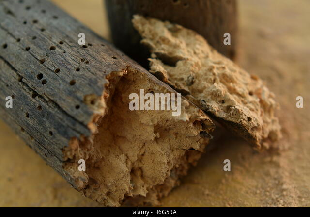A brittle piece of wood decayed by woodworms - Stock Image