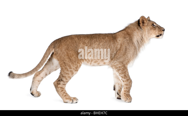 Lion, Panthera leo, 9 months old, walking in front of a white background, studio shot - Stock Image