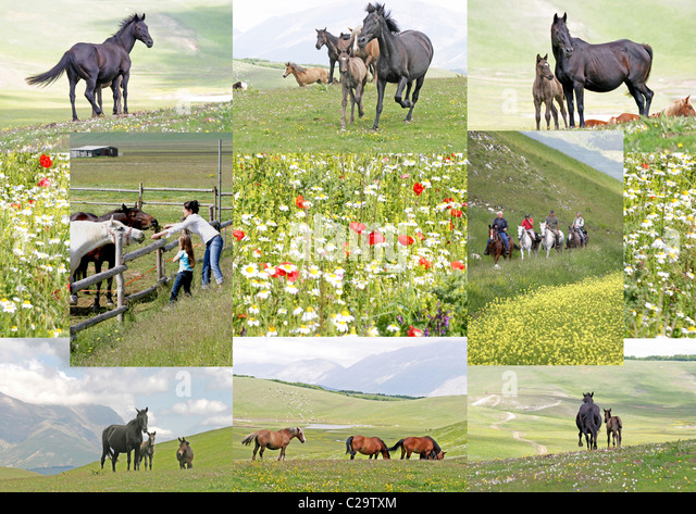 Composite image of horses on the fabulous wild flower plain of the   Piano Grande, Sibilini National Park, Le Marche, - Stock Image