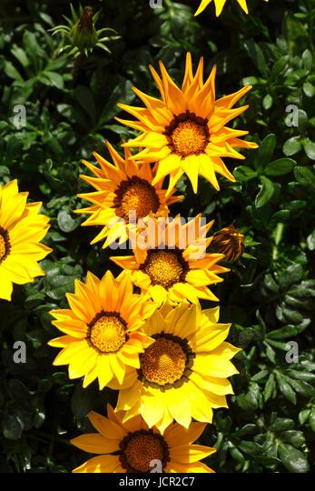 Yellow Blossoming Gazania Flowers - Stock-Bilder