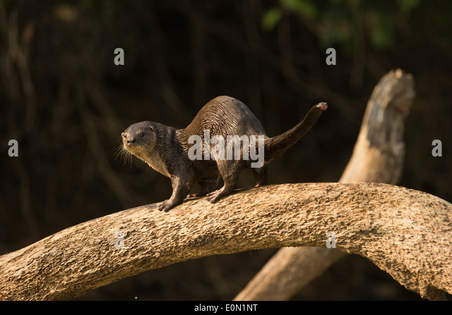 Neotropical River/Otter along riverbank, Matto Grosso, Pantanal, Brazil, South America (Lontra longicaudis) - Stock-Bilder