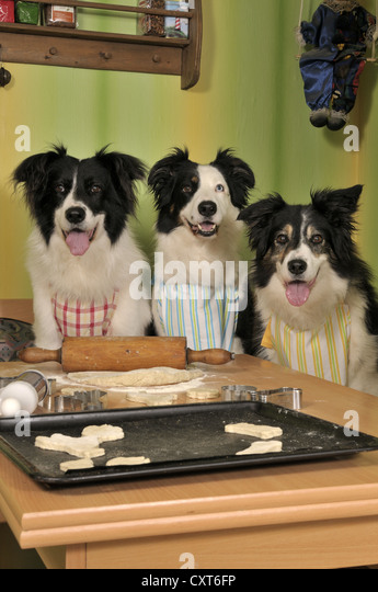 Three Border Collies making biscuits - Stock Image