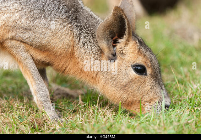 Mara are a large relative of the guinea pigs - Stock Image