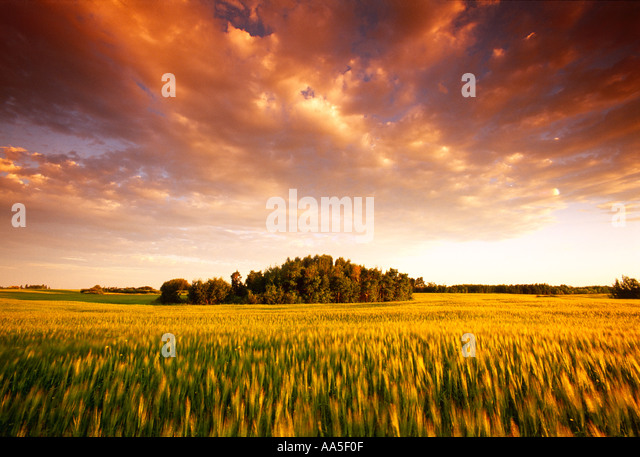 Agriculture - Field of maturing Spring wheat in late afternoon light / near Fleming, Manitoba, Canada. - Stock Image