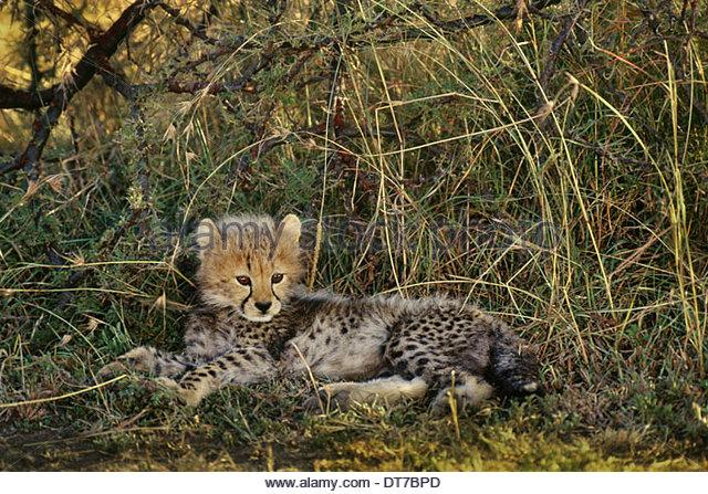 Cheetah cub resting Acinonyx jubatus Kenya Kenya - Stock Image