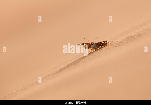 Desert Butterfly having a rest at sand dune Arab desert - Stock Image