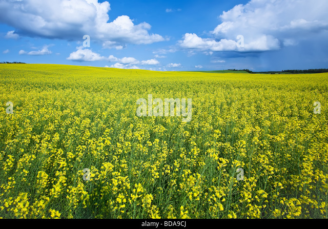 Canola field and cumulus clouds on the Canadian Prairie, Pembina Valley, Manitoba, Canada. - Stock Image