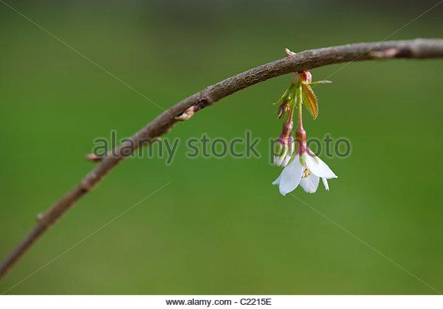 Prunus x yeodensis 'Ivensii'. Weeping Yoshino cherry - Stock Image