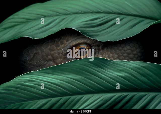 Concepts # FL1150, Kitchin/Hurst; Reptile Peeking Through Leaves - Stock Image
