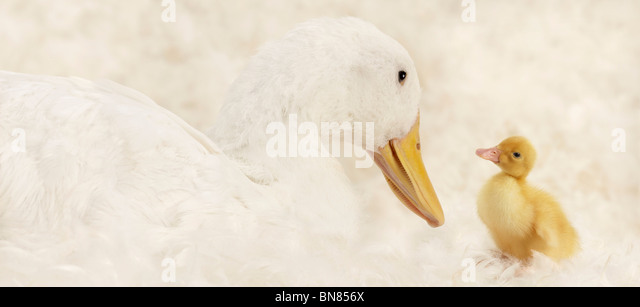 Duckling Shoot - Stock Image