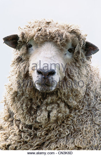 Sheep portrait, Isle of Skye, Scotland - Stock Image