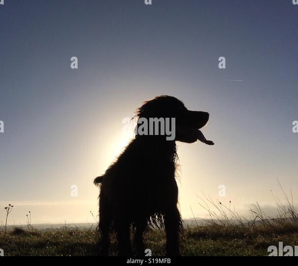 Silhouette of a small spaniel dog panting in front of a low sun - Stock-Bilder