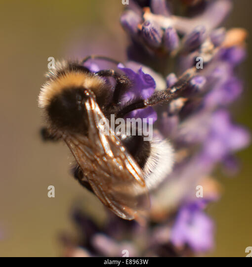 Bumble bee close up - Stock Image