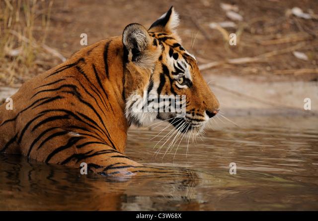Head shot of a wild tiger in Ranthambhore national park - Stock-Bilder