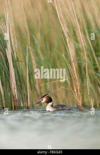 Great Crested Grebe / Haubentaucher ( Podiceps cristatus ) picking reed for nesting, picks nesting material, Europe. - Stock Image