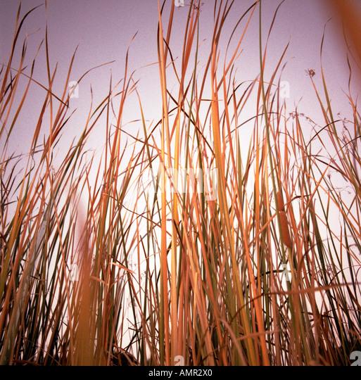 Reeds in Marshland - Stock Image