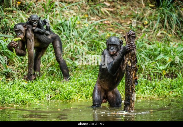 Bonobo in the water. Natural habitat. Green natural background. The Bonobo ( Pan paniscus), called the pygmy chimpanzee. - Stock-Bilder