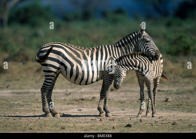 Zebra mother and calf, Amboseli, Kenya - Stock Image