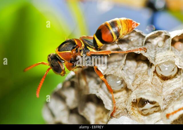 Australia, Western Australia, Perth, Wasp guarding hive - Stock Image