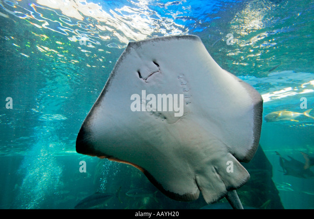 south africa cape town waterfront aquarium stingray - Stock Image