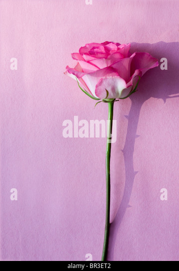 pink rose on a pink surface with a shadow of thorns - Stock Image