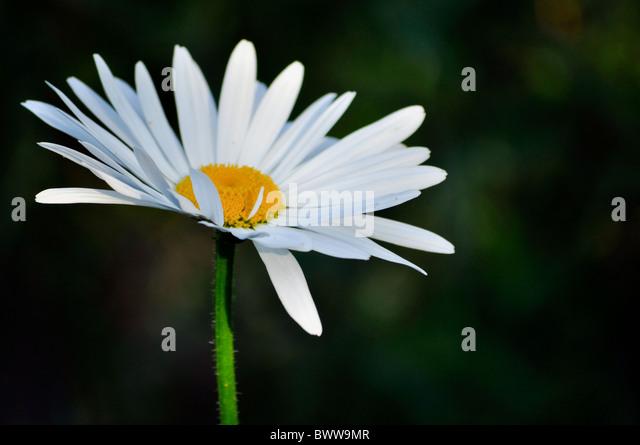 one single daisy white isolated on dark background - Stock Image