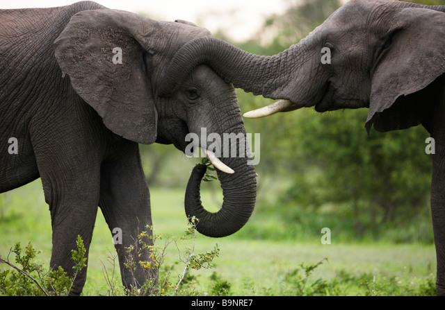 two African elephants bonding in the bush, Kruger National Park, South Africa - Stock-Bilder