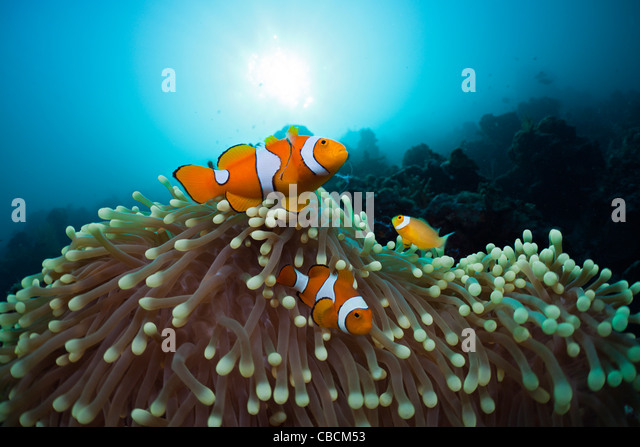 Family of Clown Anemonefish, Amphiprion ocellaris, Cenderawasih Bay, West Papua, Indonesia - Stock Image