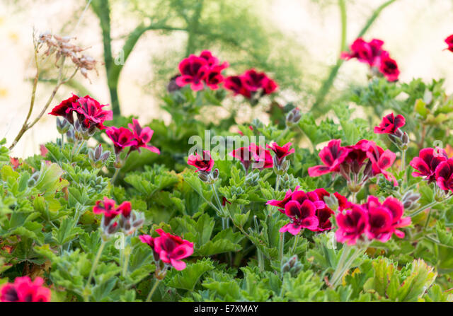 Red flowers with black spots - Stock Image
