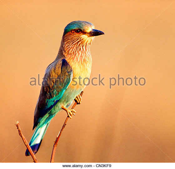 Indian roller, India - Stock Image