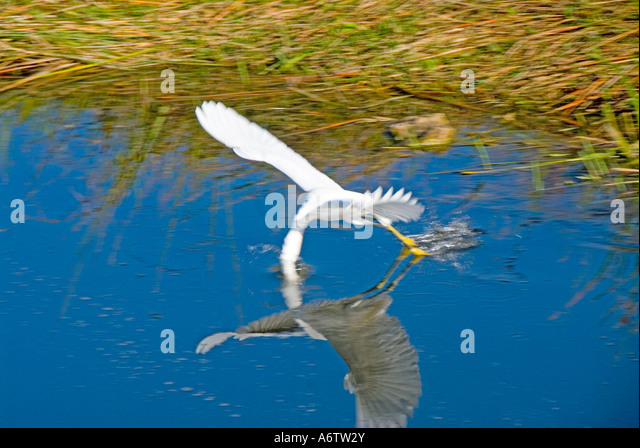 Snowy egret flying beak in water reflection florida nature birding wildlife everglades national park - Stock Image