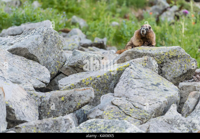 Marmot Perches on Bould Field next to alpine field - Stock Image