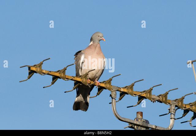 Wood Pigeon Columba palumbus on TV aerial in town Holt Norfolk UK - Stock-Bilder