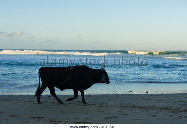 A cow walks along the shore at Dwesa Nature Reserve in South Africa. - Stock Image