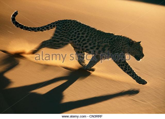 Leopard, Namib-Naukluft National Park, Namibia - Stock Image