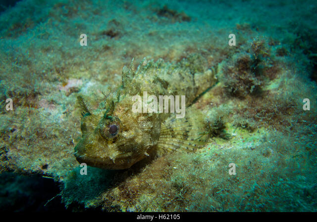 Full size Small Rockfish, Scorpaena notate, on algae covered rock. - Stock Image