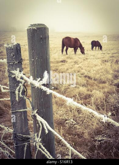 Horses graze in a foggy pasture surrounded by a hoar frost-coated barbed wire fence. - Stock Image