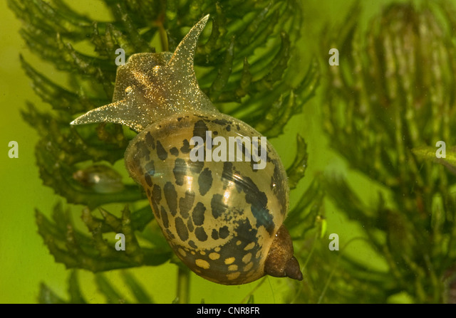 Pond snail stock photos pond snail stock images alamy for Garden pond snails