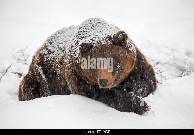 Bear Hibernate Stock Photos & Bear Hibernate Stock Images ...