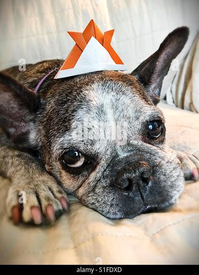 A cute old french bulldog wearing an origami samurai helmet. - Stock-Bilder