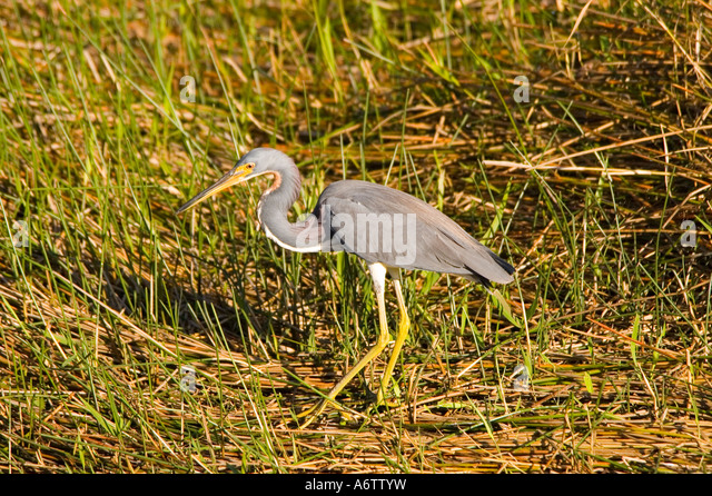 Birds Tricolored Heron walking portrait closeup fl nature birding wildlife  florida everglades national park - Stock Image