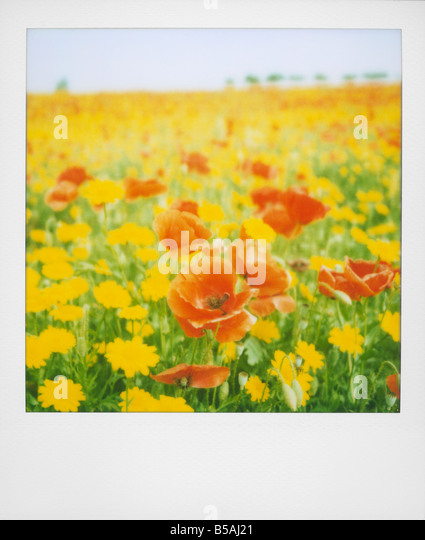 Polaroid of field of poppies and yellow wild flowers near Fez Morocco North Africa Africa - Stock Image